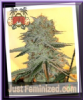 Sin City PowerNap Feminized 7 Cannabis Seeds
